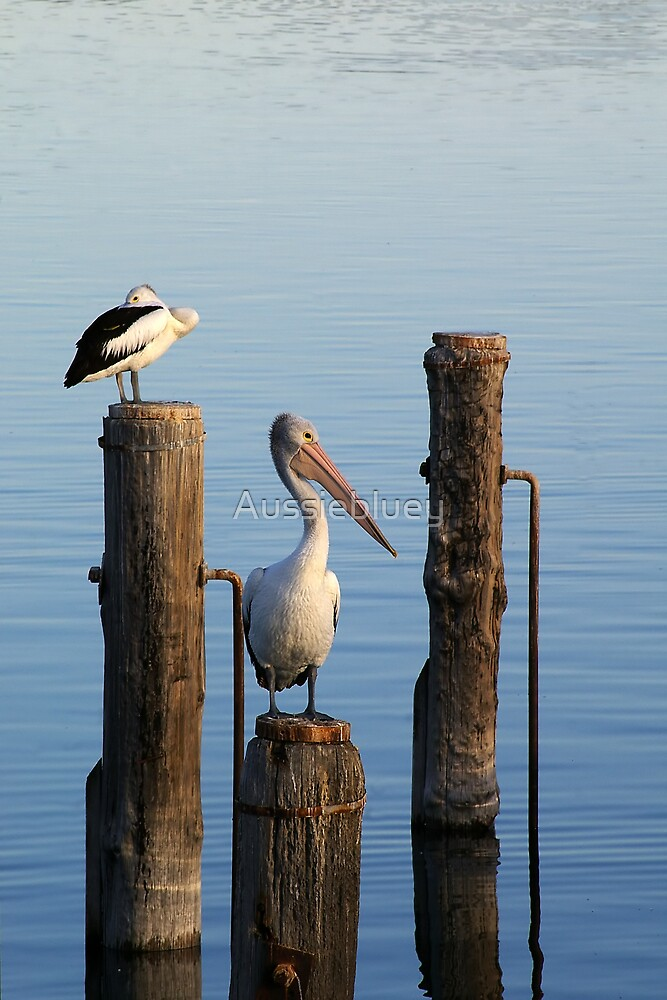 Pelicans at rest. by Aussiebluey