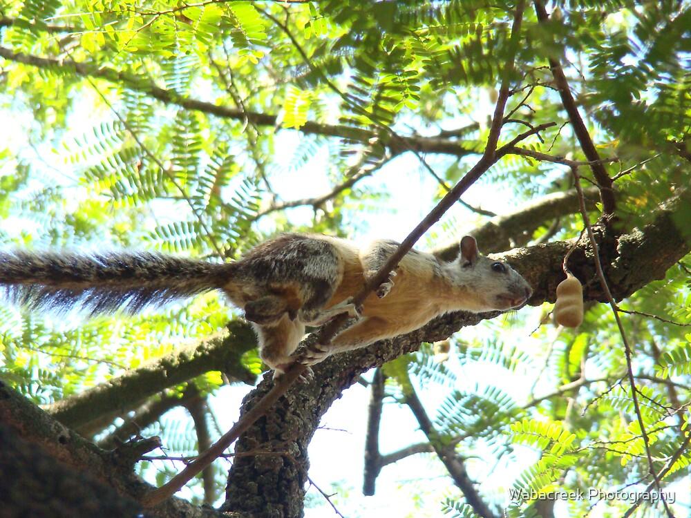 Costa Rican Squirrel by Jocelyne Phillips