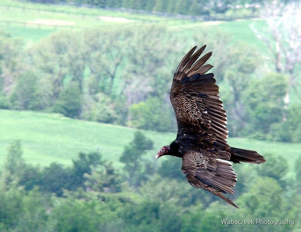 Turkey Vulture by Jocelyne Phillips
