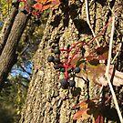 Virginia Creeper Berries on Vine by silverdragon