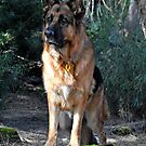 German shepherd in the bush by Coralie Plozza