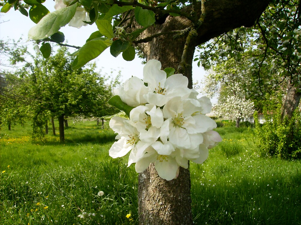 Blooms in Spring, Glastonbury Abbey by Amanda Gazidis