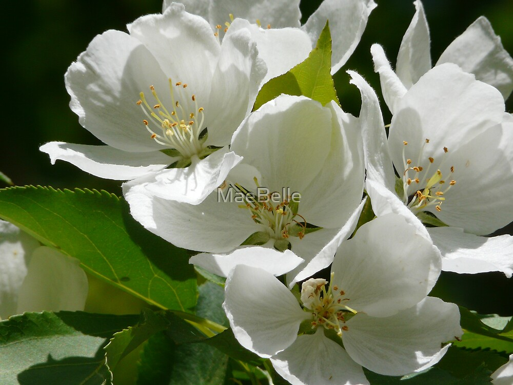 More Apple Blossoms by MaeBelle