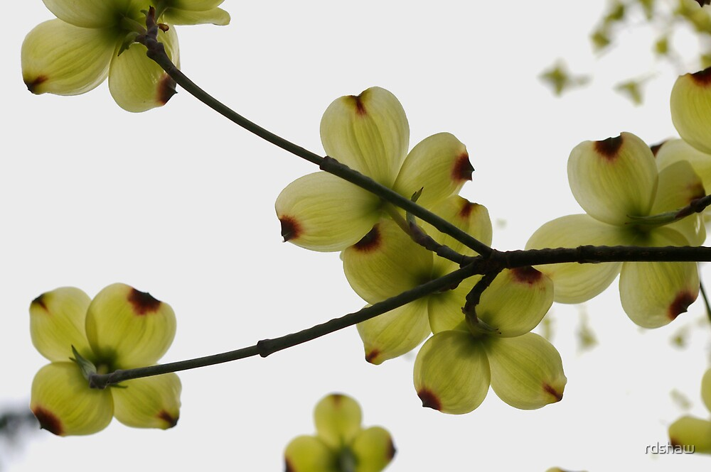 Dogwood Blooms by rdshaw