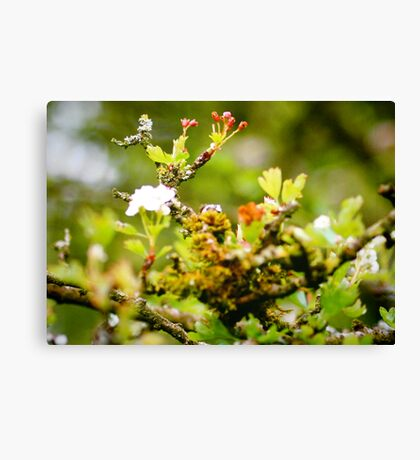 The flowering Holy Thorn, Chalice Well Gardens Canvas Print