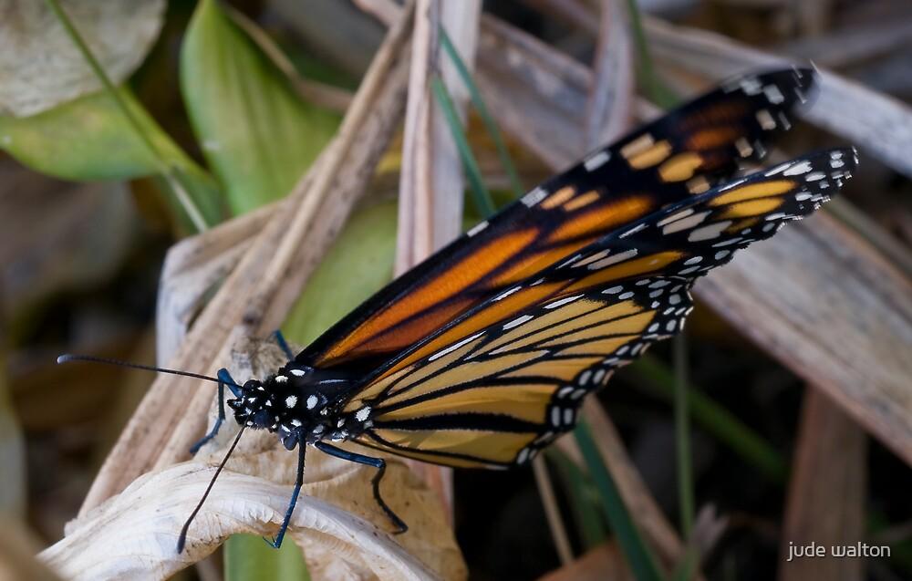 just dried monarch by jude walton