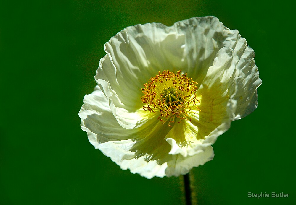 Icelandic Poppy by Stephie Butler