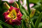 """Dragon King"" Daylily by Michael Cummings"