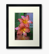 Pink Lillis in the water  Framed Print