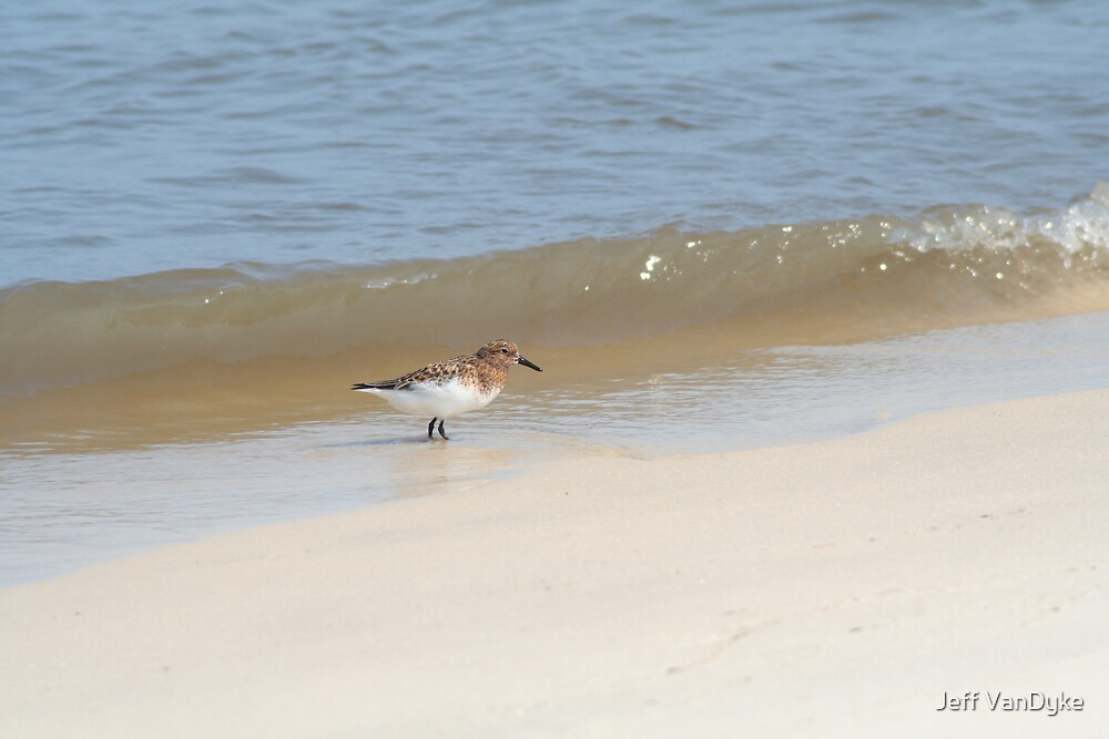 Sanderling by Jeff VanDyke
