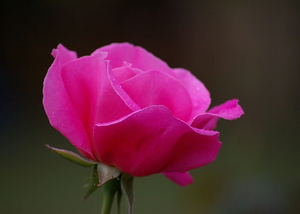 Rose With Morning Sprinkles by Cherie Carlson