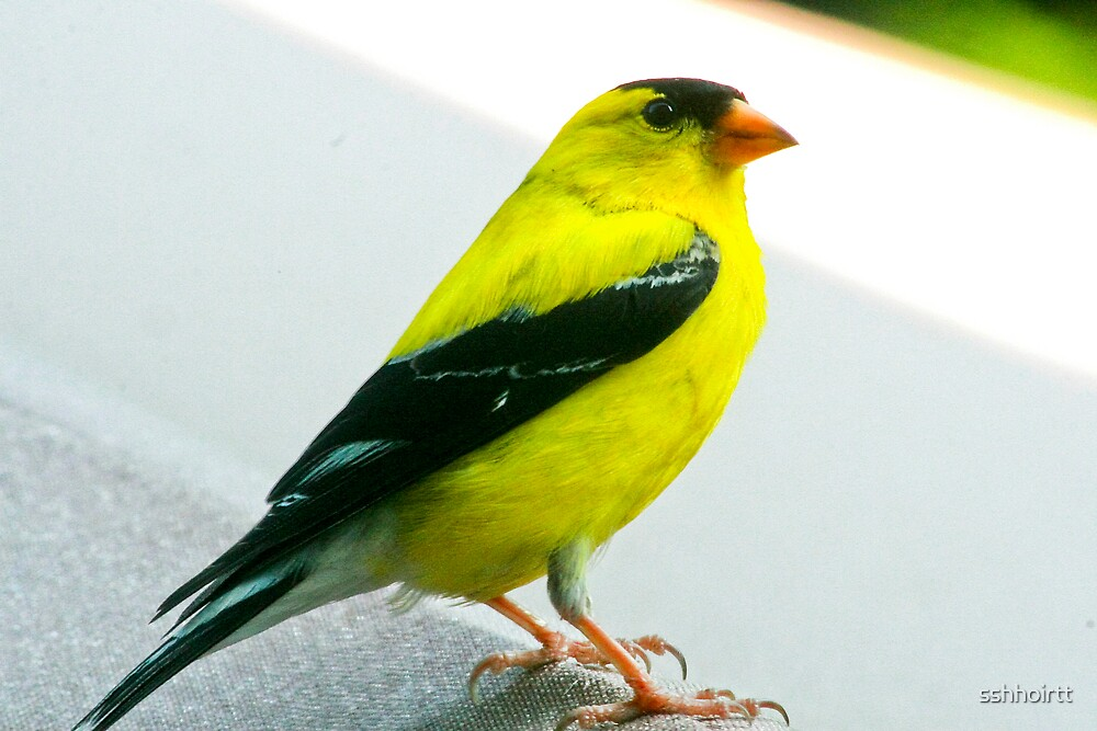 Yellow Bird by sshhoirtt