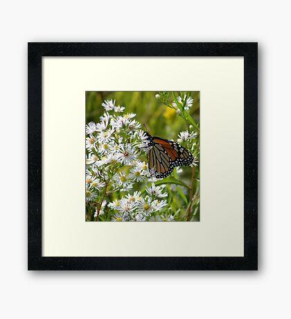 Monarch Feasting Framed Print