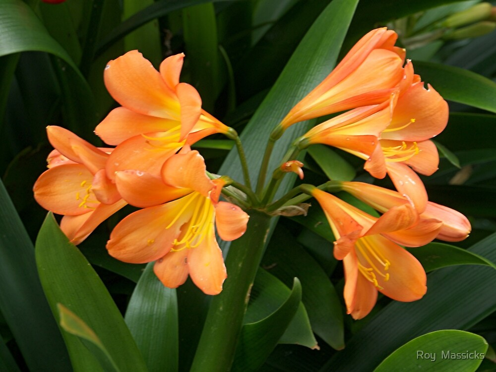 Clivia's in bloom........!! by Roy  Massicks