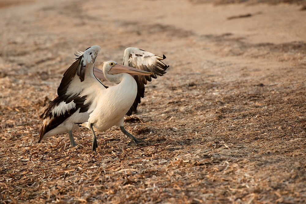 Pelican Stomp by Jenny Dean
