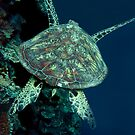 turtle by AliceFrench7