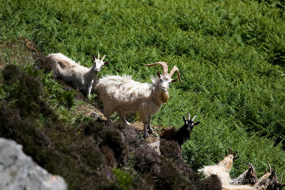 Feral goats on The Oa by Shaun Whiteman