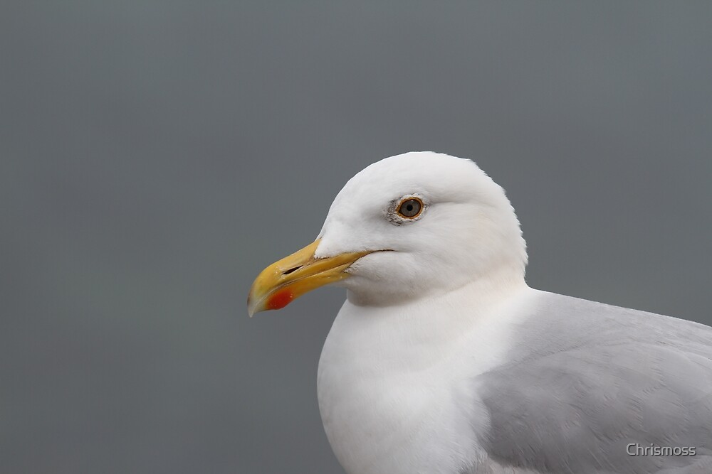Herring Gull - Larus argentatus - Coverack - Cornwall by Chrismoss