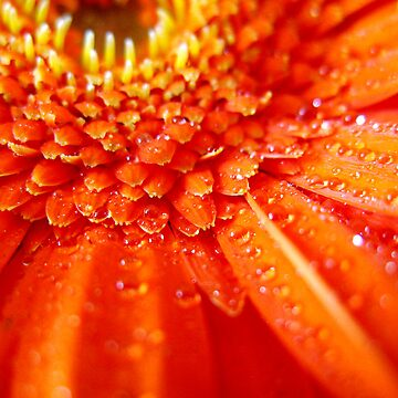 Gerbera on fire by caladia
