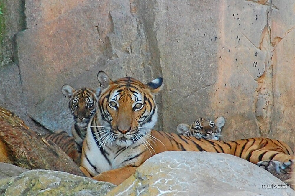 Tigers and Cubs by mwfoster