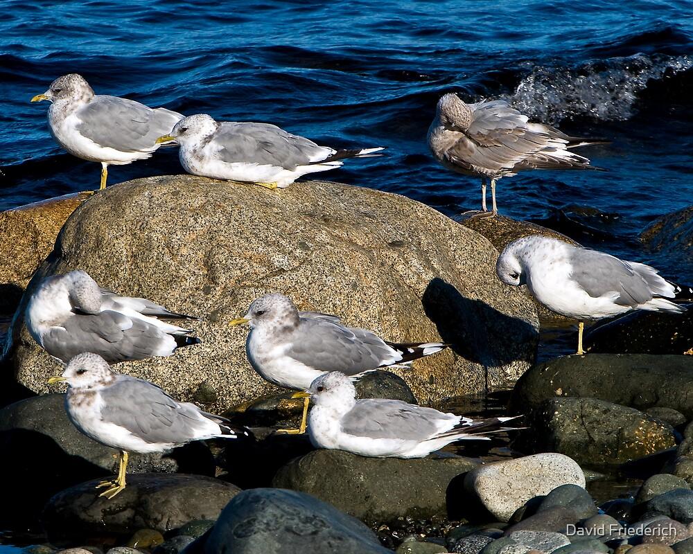 Gulls at Rest by David Friederich