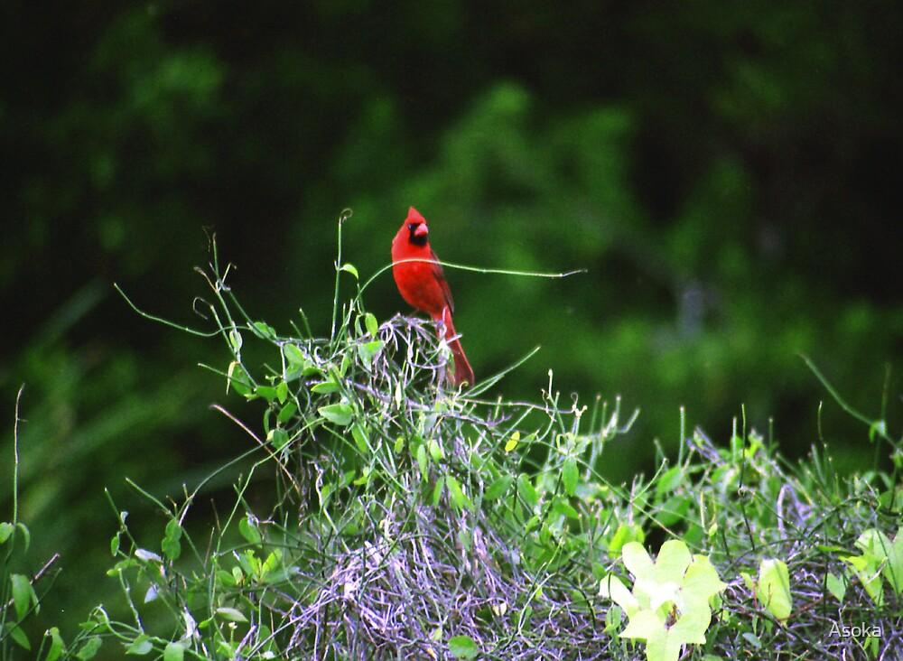 Cardinal Perch by Asoka