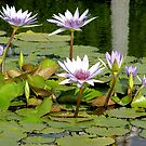 Lily Pond Reflections by Jan  Wall