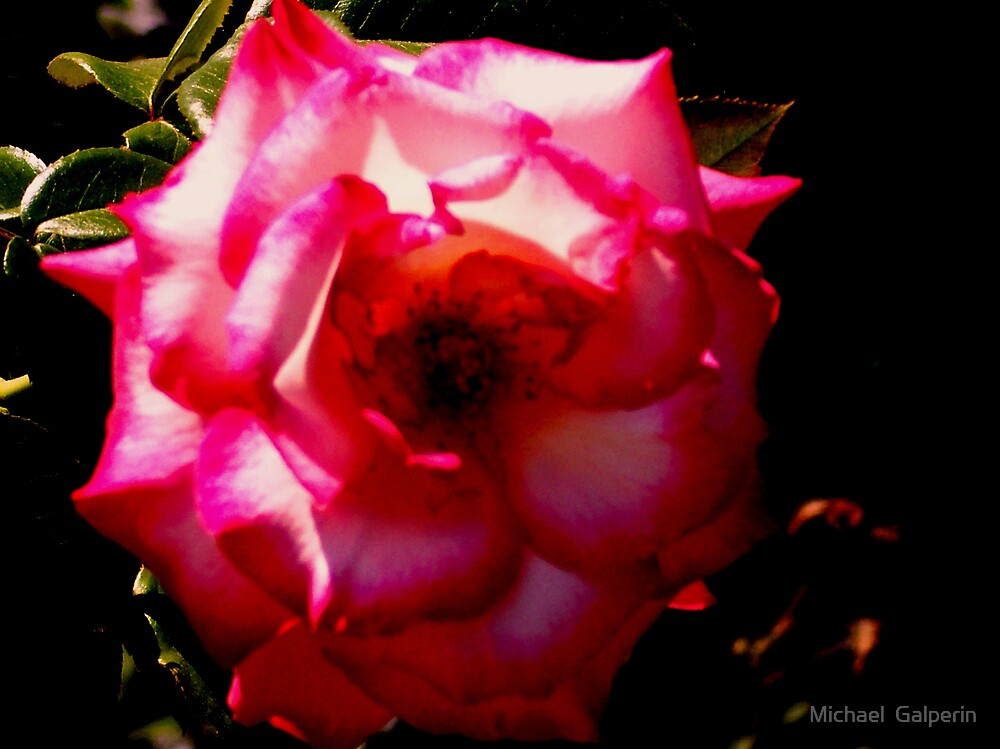Beauteful Rose take 2 by Michael  Galperin