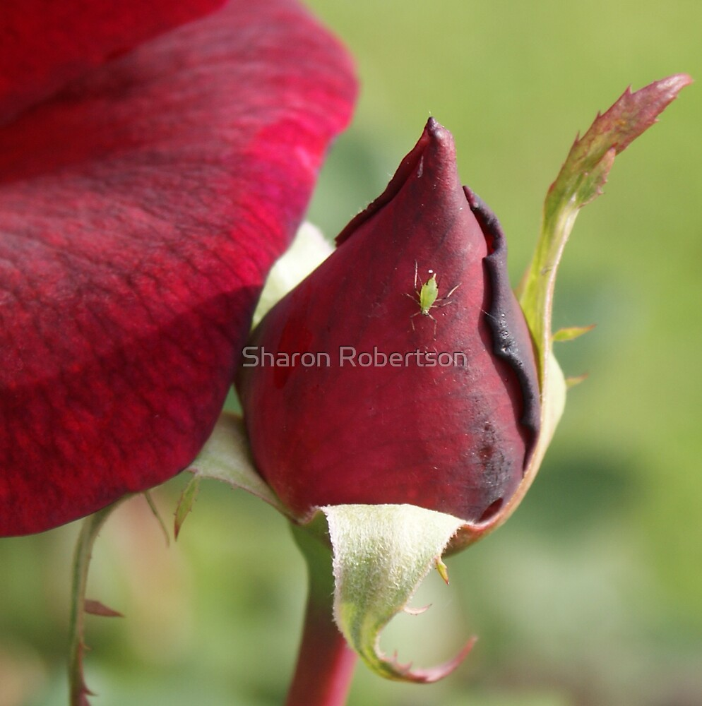 Red Roses Too.. by Sharon Robertson