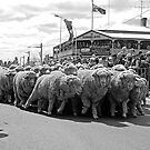 Running of the Sheep by GailD