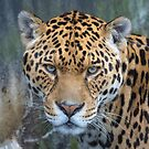 'Chincha' the jaguar by Stephen Liptrot