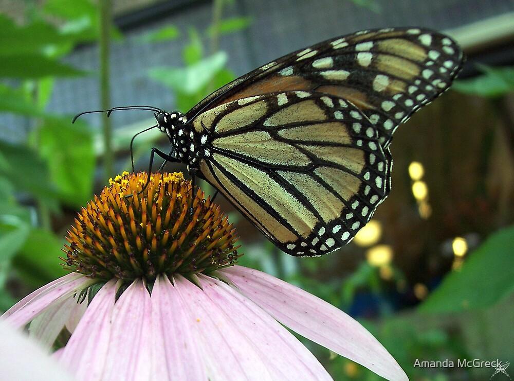 Monarch on Corn Flower by Amanda McGreck