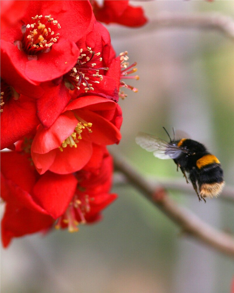 Bee on Japonica 2 by dsargent