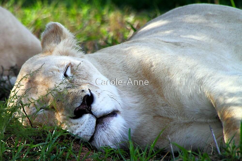 Sleeping White Lion by Carole-Anne