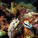 Two Nudibranchs Macro by Kristin Hamm