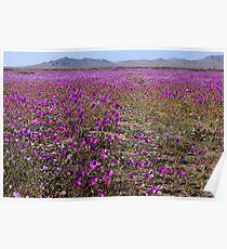 Blossoming Atacama Desert Poster