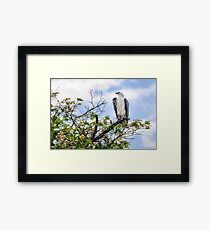 A majestic white bellied Sea Eagle at Corroboree Billabong Framed Print