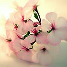 Geranium Flowers by margotk