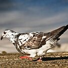 Australian Domestic pigeon 581 by kevin chippindall