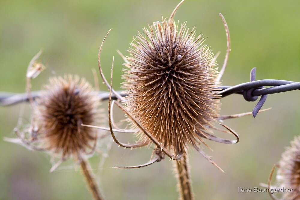 Thistle and Wire by Ilene Baumgardner