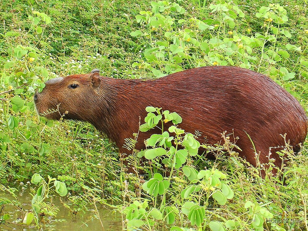 Capybarra in the Amazon Basin by Honor Kyne