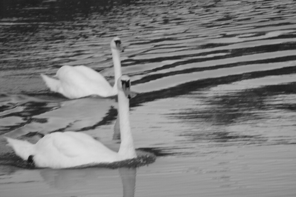 swans a'swimming by Edith Graybill