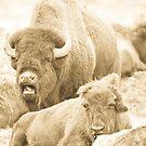 Bison Memory by David Friederich