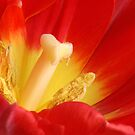 Red Tulip by SmoothBreeze7