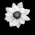 Black and White Gazania [Print and iPhone / iPad / iPod Case] by Didi Bingham