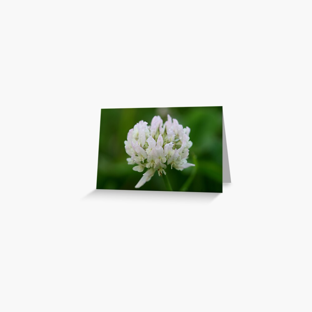 Red Clover Flower Greeting Card