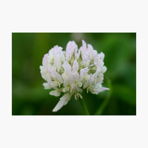 Red Clover Flower Photographic Print