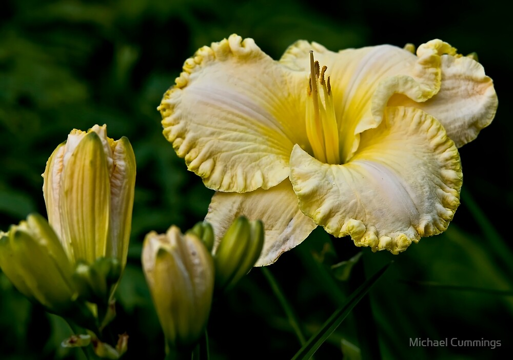 """""""First Knight"""" Daylily by Michael Cummings"""