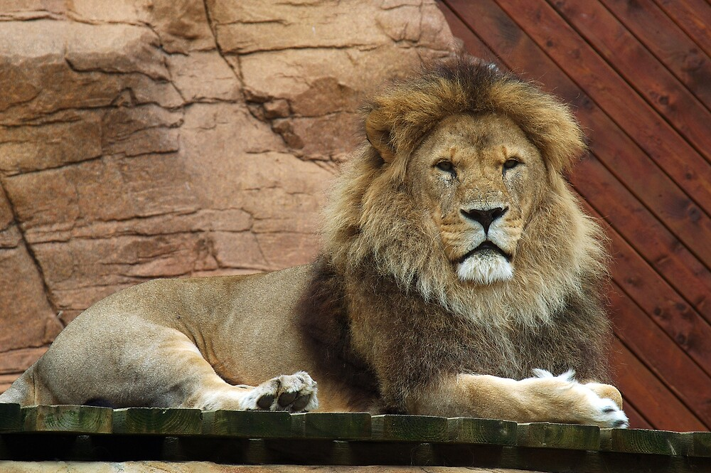 African Lion, laying proudly by Stan Daniels