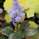 Heliotrope  by DonnaMoore